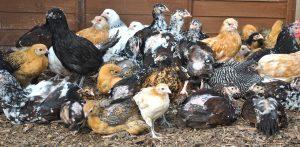 Peut-on mélanger différentes races et tailles de poules dans un poulailler ?