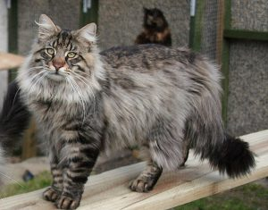 Le Skogkatt, chat des forêts norvégiennes