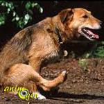 Le vermifuge du chien : âge, fréquence, symptômes d'infestation