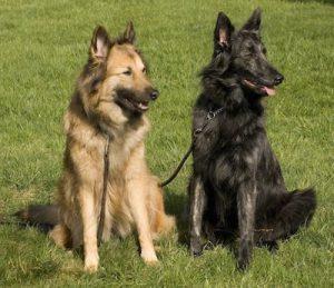 Le chien de berger hollandais, ou Berger hollandais