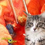 Les calculs de struvite et d'oxalate chez le chat