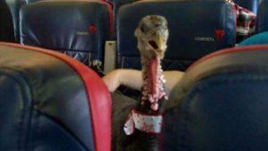 Volez avec un dindon pour combattre votre peur de l'avion !