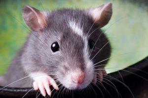 Certains rats sont-ils prédisposés pour mordre?