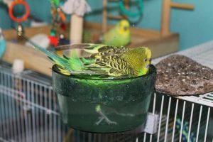 Nos perroquets ont-ils des préférences en matière de bain ?