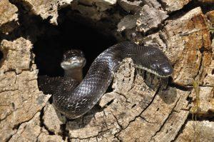 La paternité multiple chez la couleuvre, ou la polyandrie des reptiles