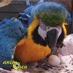 Santé : la rétention d'œuf (mal de ponte) chez les oiseaux à bec droit et perroquets