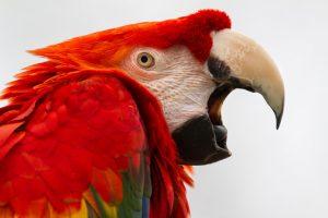Santé des perroquets : les maladies rencontrées par les Aras