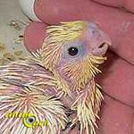 Alimentation : le déroulement du sevrage chez les perroquets
