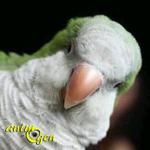 Comportement : que nous enseigne la vie sociale de nos perroquets ?