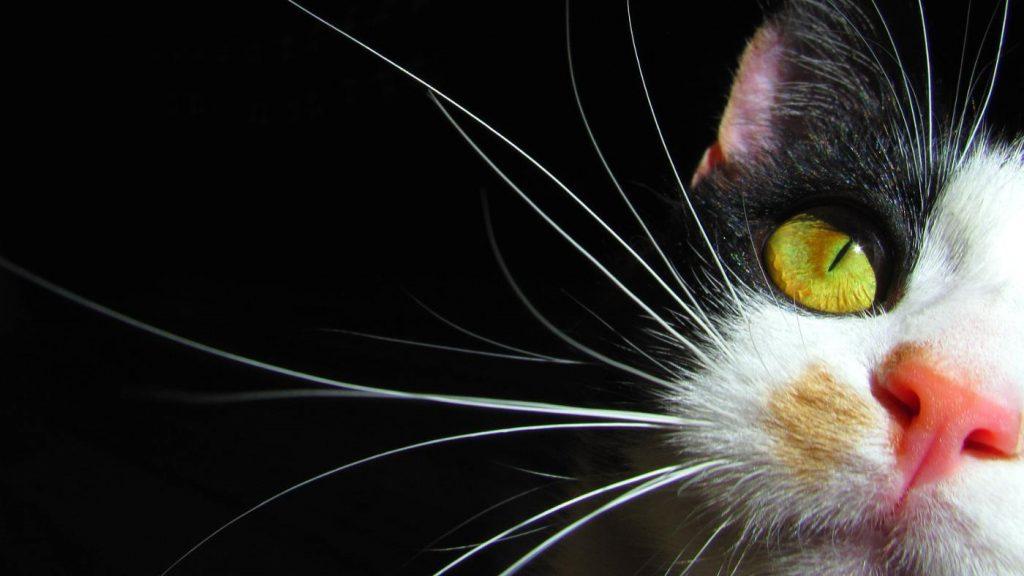 Les sens chez les chats : les moustaches