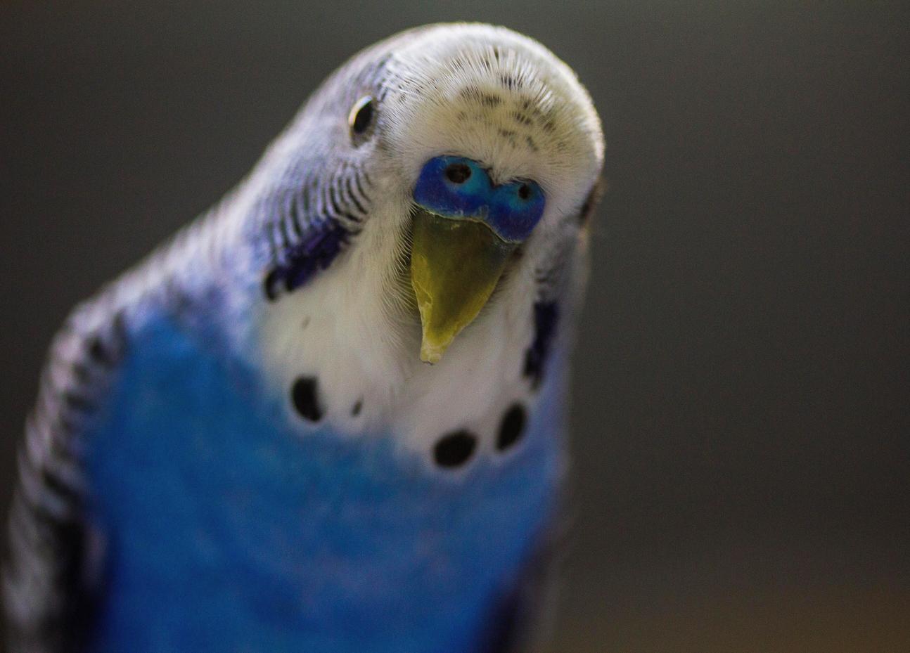 Perroquets : y-a-t-il des différences de comportement entre mâles et femelles ?