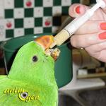 Alimentation et sevrage : comment nourrir à la main un perroquet non sevré ? (1ère partie)
