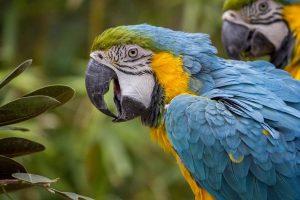 Langage : la signification des sons, mots et sifflements de nos perroquets