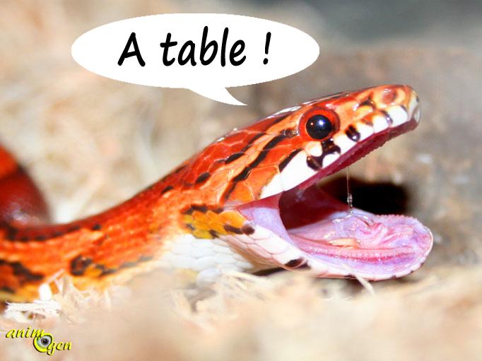 Alimentation du serpent des blés (Elaphe Guttata) : rations et fréquence