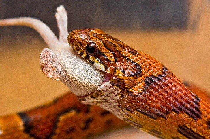 Alimentation du serpent des blés (Elaphe Guttata) : rations